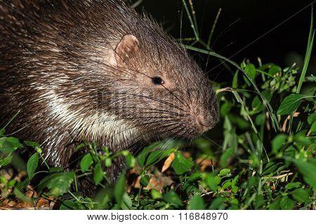 Close Up Of Porcupine
