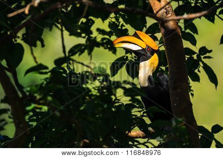 Great Hornbill Perching On The Branch