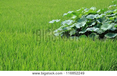 The Growth Of Rice And Lotus Root