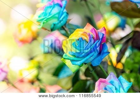 Colorful Of Rainbow Roses Flower. Macro Of Rainbow Roses With Multi Colored Petals