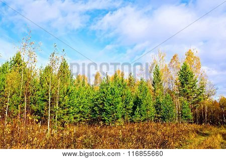 Forest autumn with pine and blue sky