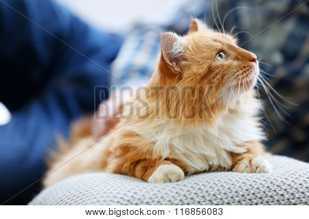 Fluffy red cat on a pillow