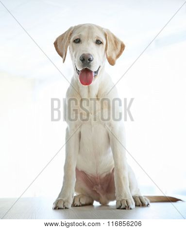 Cute Labrador dog on wooden table