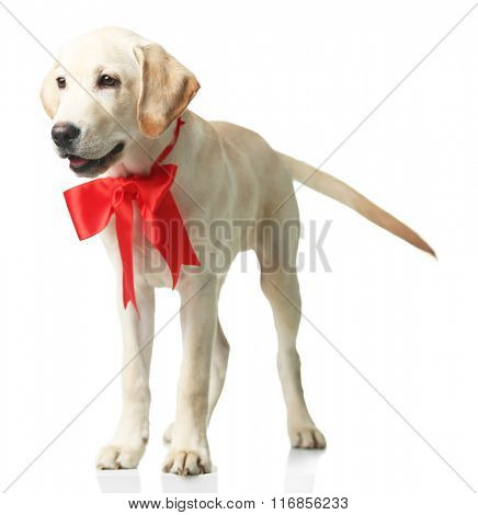 Beautiful Labrador retriever with red bow isolated on white background