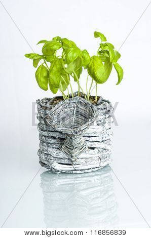 Basil Plant With Pot.