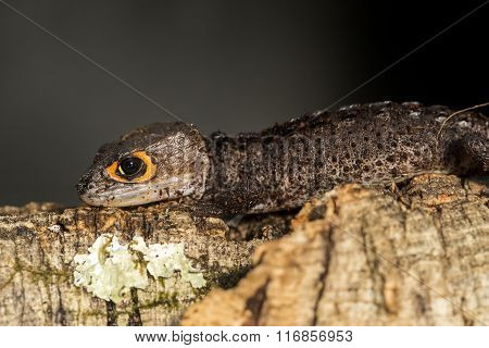 Red Eyed Crocodile Skink On A Tree Trunk