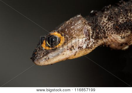 Detail Of A Red Eyed Crocodile Skink