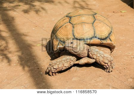 African Spurred Tortoise Closeup.