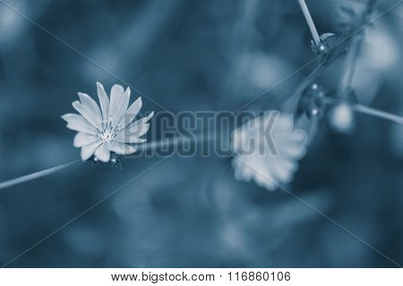 Flowering chicory (Cichorium intybus), on nature background