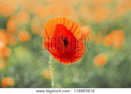 Poppy flower, outdoors