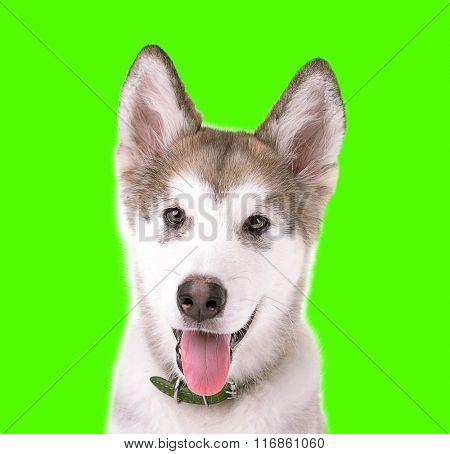 Portrait of Malamute puppy on green background