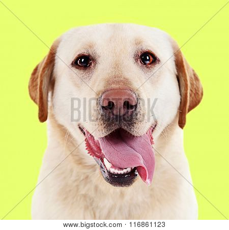 Cute labrador on yellow background