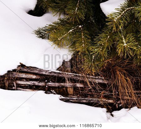 The branch of spruce in the snow,