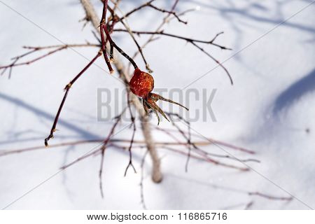 Rosehip winter