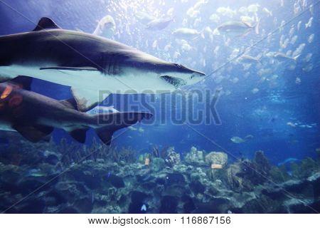 Shark and tropical fish underwater in natural aquarium