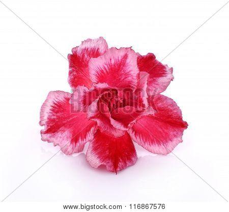 Azalea Flower Isolated On White Background