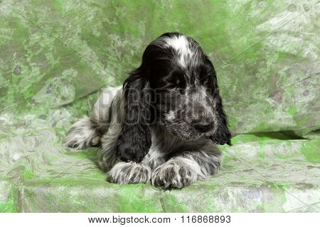 Blue English Cocker Spaniel Puppy