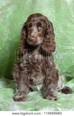 Brown English Cocker Spaniel Puppy