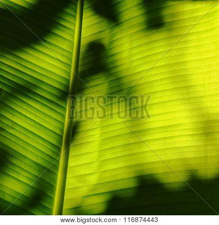 shadow on banana leaf