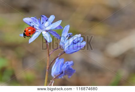 Ladybug Sitting On A Spring Flower