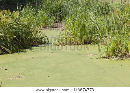 Wetland Swamp Green Algae