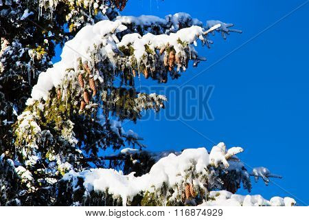 Winter holiday background with snowy pine tree branch, pine cones, blue sky, copy space