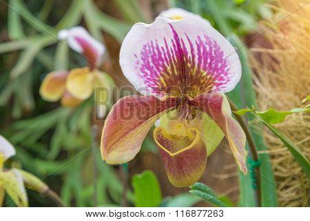 lady's slipper of  orchid. (Paphiopedilum Callosum )