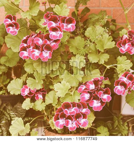 Retro Looking Geranium