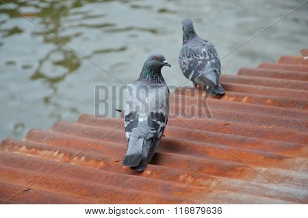 pigeon on rusty  galvanized iron roof near canal