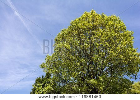 Quercus serrata tree