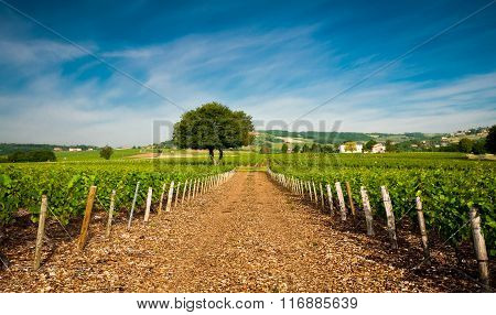 Vineyards Of Frontenas, Beaujolais, France