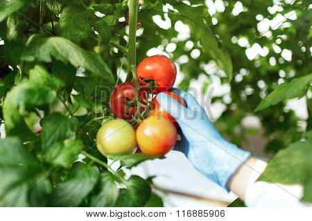 Biotechnology Woman Engineer Examining A Plants For Disease From Greenhouse Farm. Food Scientist Sho