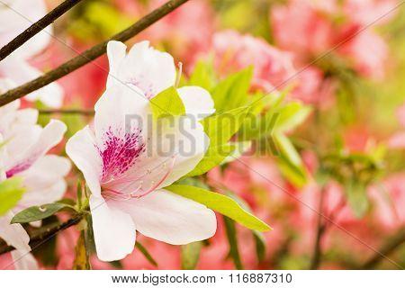 Pale pink azalea flower