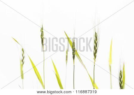 Wheat flower