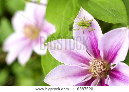 Grasshopper on clematis flower