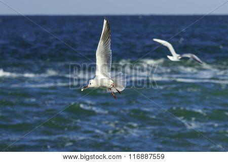 Gull's Pirouettes