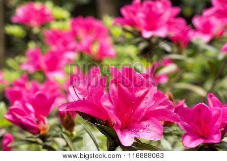 Vivid pink azalea