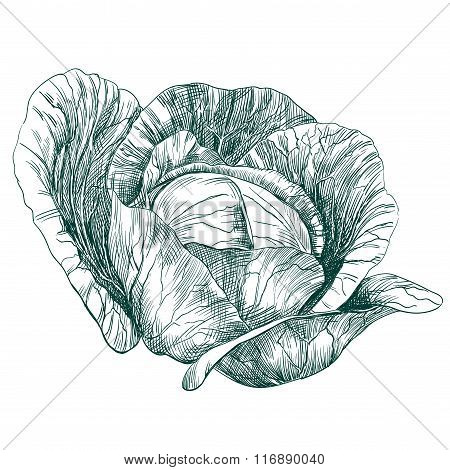 cabbage vegetable hand drawn vector llustration  sketch