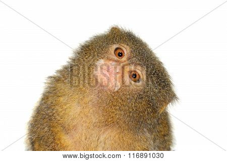 The pygmy marmoset, cebuella pygmaea, on white