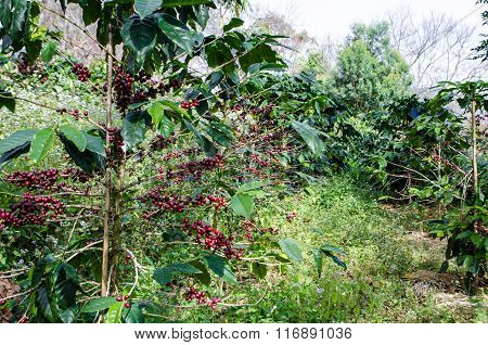 Coffee Tree With Ripe.