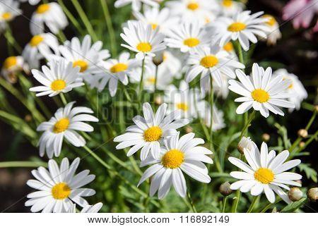 Daisy Flower In A  Pots.