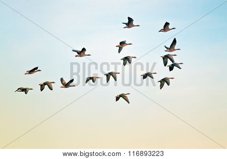 Pilgrim geese in flight