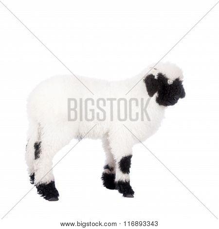 Valais lamb On White