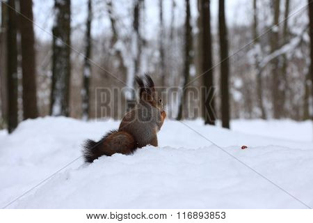 Squirrel with a walnut in the winter forest