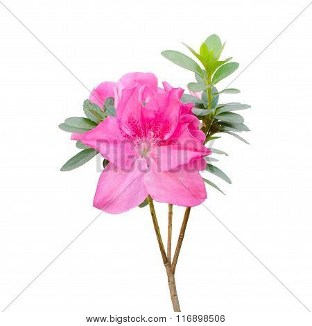 Pink Azalea Blooming On Tree Isolated On White Background