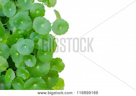 Water Pennywort The Scientific Name Is Hydrocotyle Umbellata Isolated On White Background
