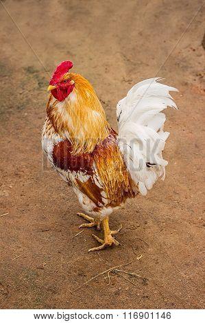 Beautiful Rooster in rustic farm yard