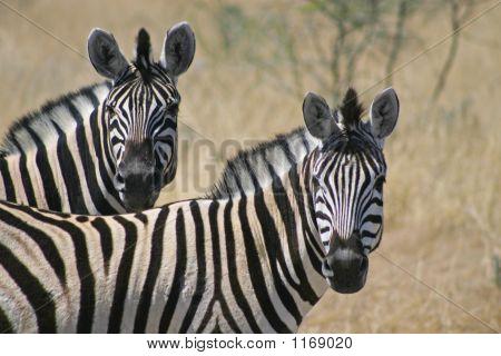 Zebra-paar Equus burchelli