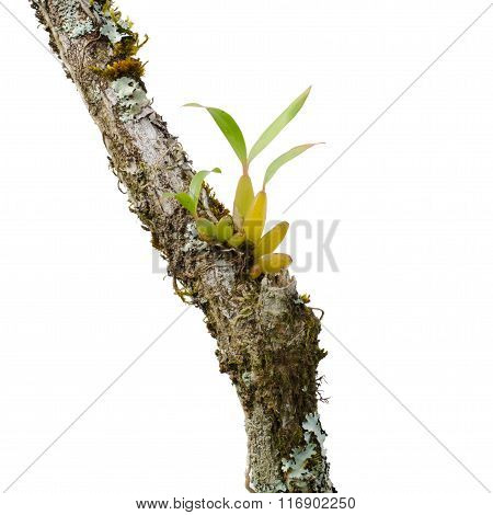 Wild Orchid Seedling Growing On Tree Isolated On White Background