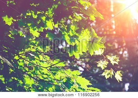Sunny Green Maple Leaves